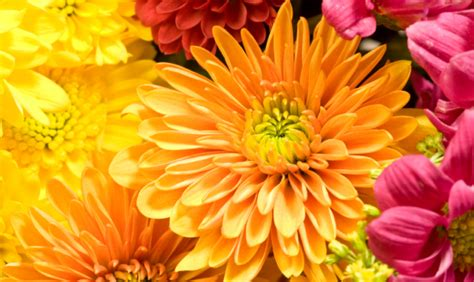 immagini fiori autunnali il crisantemo gardening d autunno www stile it