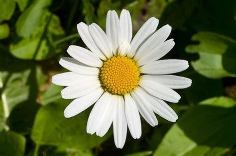 fiore della camomilla rimedi naturali contro la gastrite