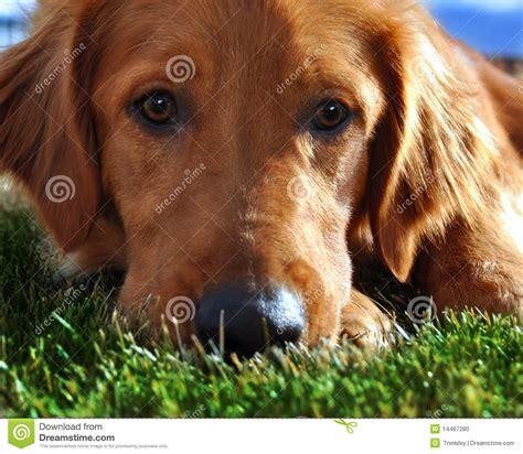 golden retriever grass golden retriever in grass stock photo image 14467280