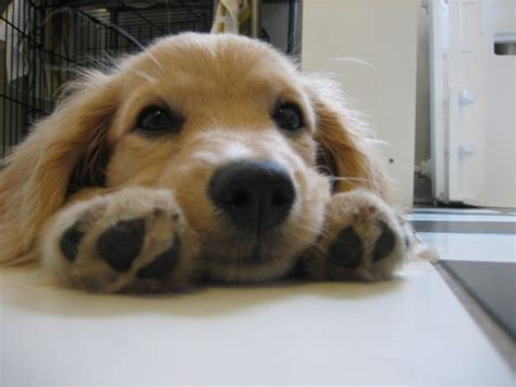 comfort golden retriever comfort retrievers look like golden retriever puppies their whole lives dogs
