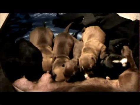 2 week pitbull puppies 7 pit bull puppies 2 week