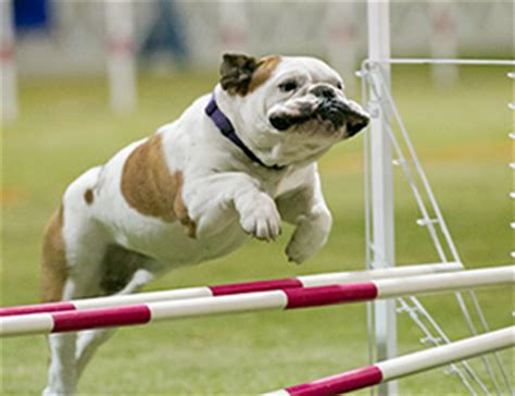 how to a for agility trials american kennel club events