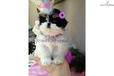 teacup shih tzu for sale near me shih tzu puppy for sale near arizona 5f71daa3 2381