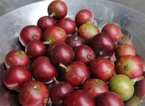 Biji Benih Tanaman Buah Indian Jujube si langka buah rukam yang berkhasiat bibitbunga