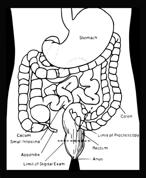 anatomy coloring book digestive system digestive system clip at clker vector clip
