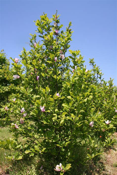 flowering tree jane magnolia magnolia liliiflora jane shade tree farm