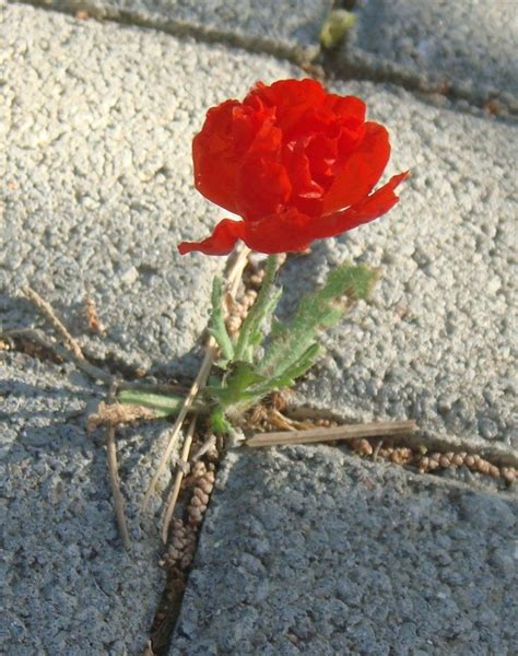 flower growing through sidewalk www pixshark com