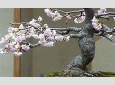 The Bonsai Blog - Bonsai Empire Minoru Bonsai
