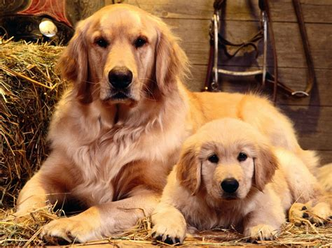 new golden retrievers golden retriever wallpapers hd