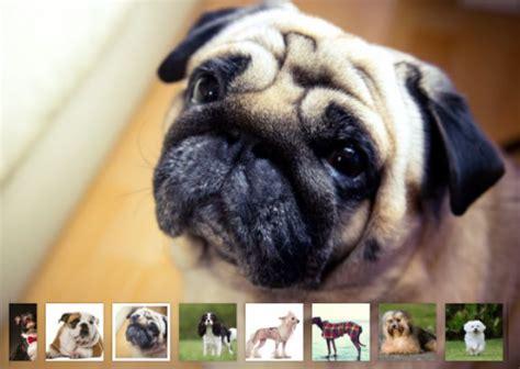 cani appartamento razze le migliori razze di cani da appartamento secondo l