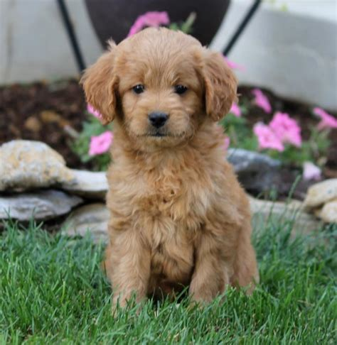 goldendoodle puppies for sale in ri adorable mini goldendoodle puppies craigspets