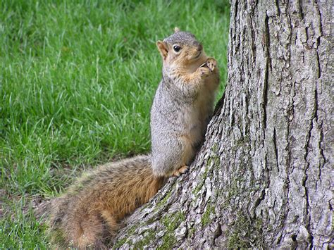 Garden Rodents Types - file fox squirrel with sunflowerseed by tree south bend indiana usa jpg