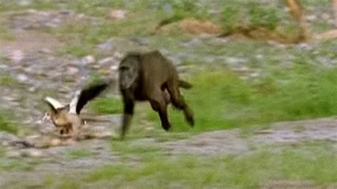 hungry baboons hunting bbc earth youtube