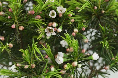 Blumen Stauden Winterhart 1262 die besten 25 wachsblume ideen auf