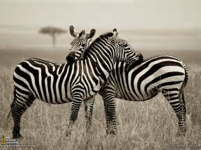 The Zebra Zebra Picture Animal Wallpaper National Geographic