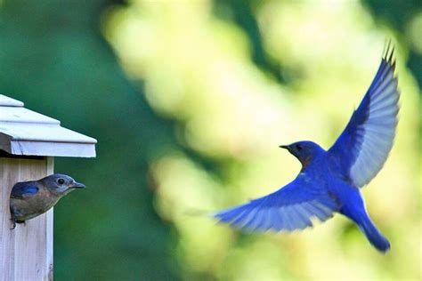where to place bluebird house did you know it s time to put up bluebird houses