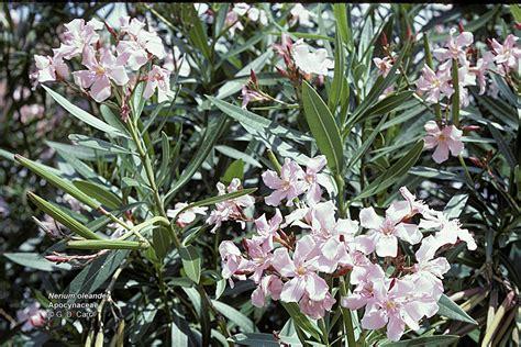 flowering shrubs in florida shrubs to grow in florida