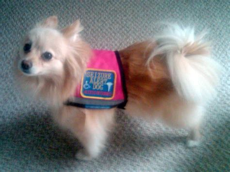 small service dogs service dogs vests motorcycle review and galleries