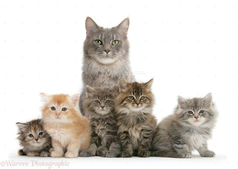 cat wallpaper gallery cat with kittens pics