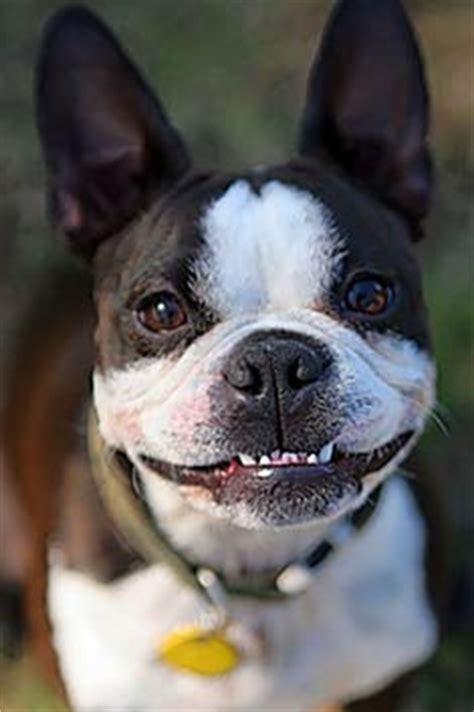 boston terrier puppies michigan miniature boston terrier puppies michigan