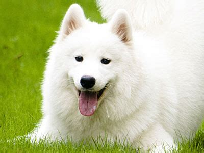 white fluffy big big white fluffy dogs prodigious breeds list home design ideas 0 equalvote co
