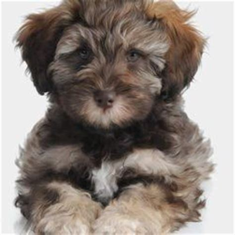 teddy schnoodle puppies for sale the world s catalog of ideas