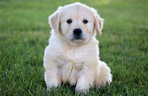 creme golden retrievers golden retriever puppy goldenacresdogs