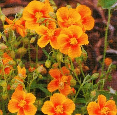 harros pflanzenwelt helianthemum orange sonnenr 246 schen alpine pflanzen