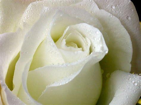 imagenes de flores rosas blancas las mejores fotos de rosas haciendofotos com
