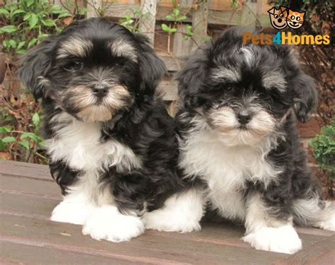 kyi leo puppies for sale maltese lhasa apso puppies breeds picture