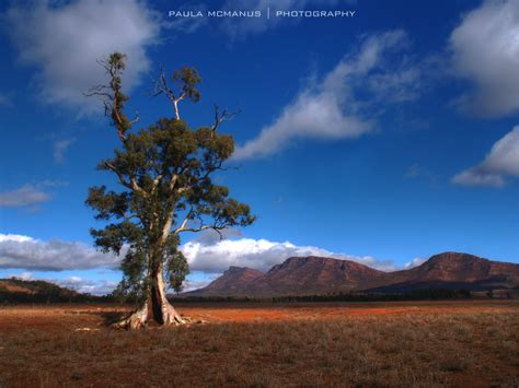 tree australia cazneaux s tree flinders ranges flinders ranges