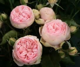 garden rose bridal piano lt