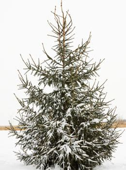 what type of christmas tree lasts the longest types of trees
