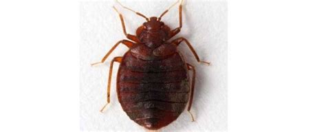 exterminating bed bugs pest chat