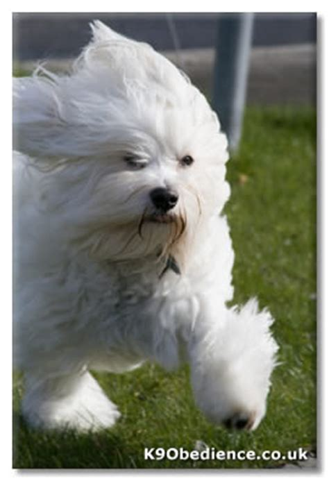 havanese breed profile havanese breed profile size weight temperament coat care and havanese
