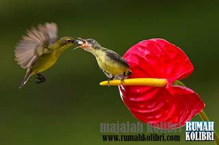 cara meloloh kolibri anakan agar tetap hidup rumah kolibri