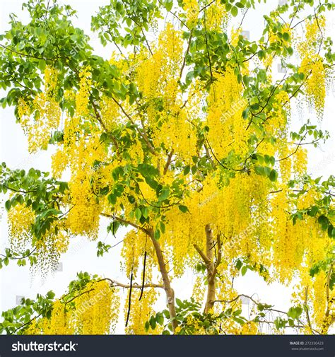 golden shower tree national tree of thailand cassia