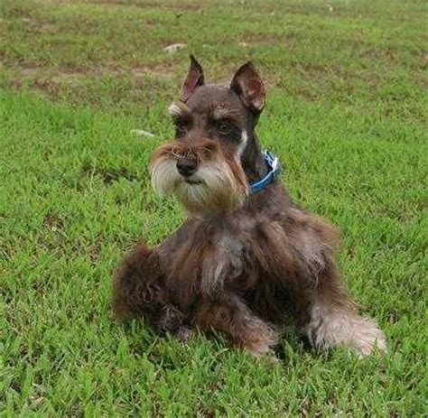 liver schnauzer puppies for sale teacup and miniature schnauzer puppies for sale oklahoma