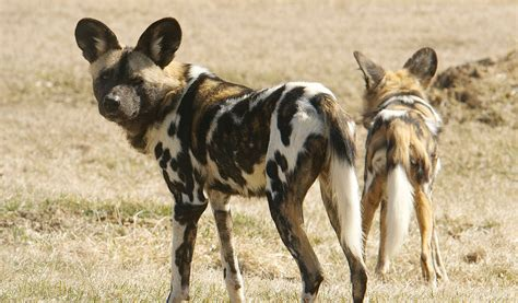 African Wild Dog - Facts,Information & Pictures