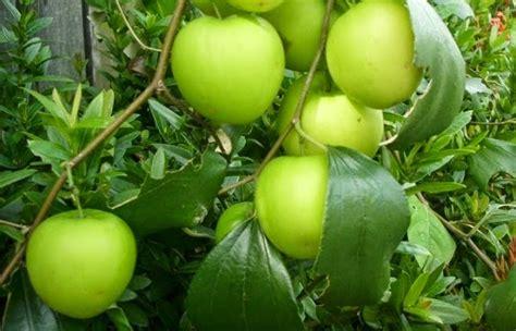 Gelang Tasbih Fosfor 18 khasiat buah bidara untuk kesihatan dan kecantikan