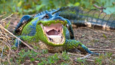 what color are alligators alabama pictures and facts