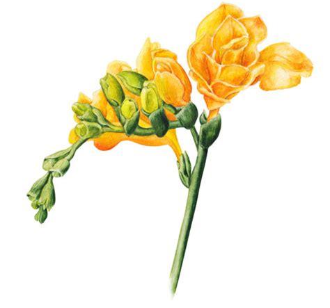 fresia fiore coltivare la fresia bulbi di fiori colorati