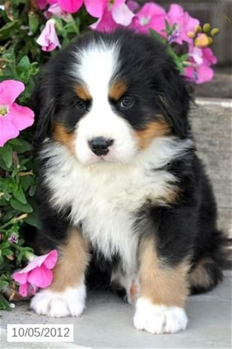 bernese mountain dogs for sale best 25 puppies for sale ideas on