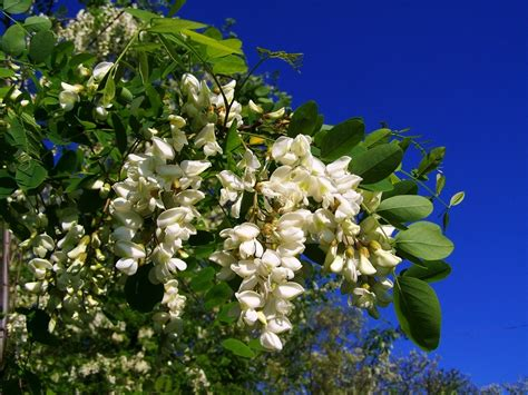 marmellata di fiori di acacia confettura di acacia confettura di robinia la liguria