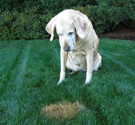 my dog pees in the same spot in the house dog anxiety separation disorder best dogs to get grass dogs pee stop my dog digging