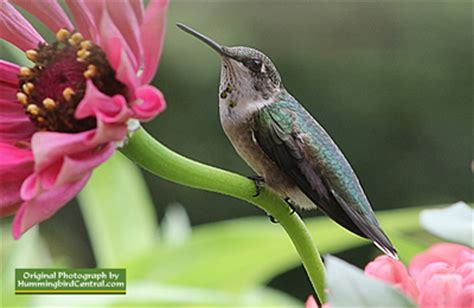hummingbirds for children facts faqs hummingibirds to