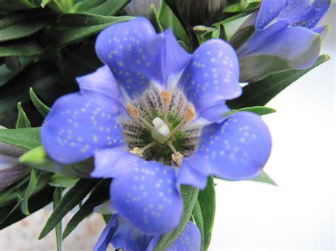 genziana fiore genziana garden it