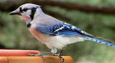 how to attract blue jays to your backyard how to attract blue jays to your backyard wild about