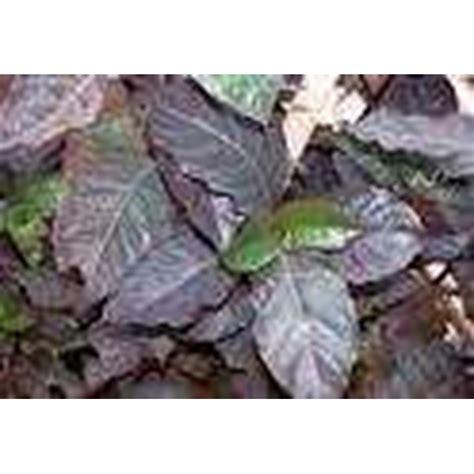 Teh Kotak Di Indo jual teh herbal daun ungu rp 24 000 kotak 20