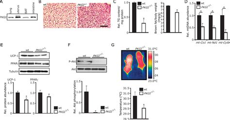 protein kinase g protein kinase g controls brown cell differentiation